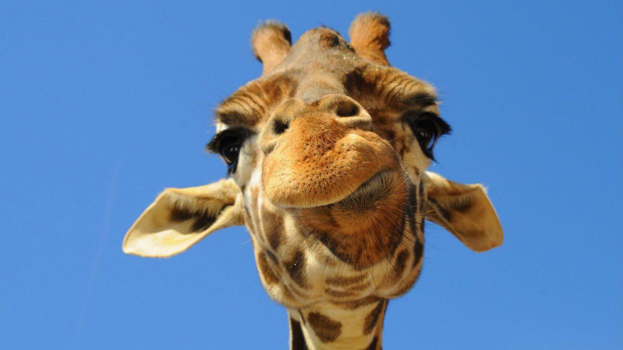 Giraffe (3) wallpaper