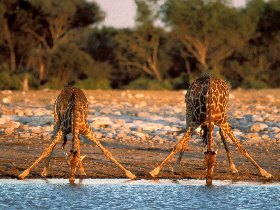 Giraffe (4) wallpaper