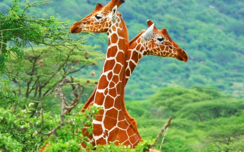 Giraffe (7) wallpaper