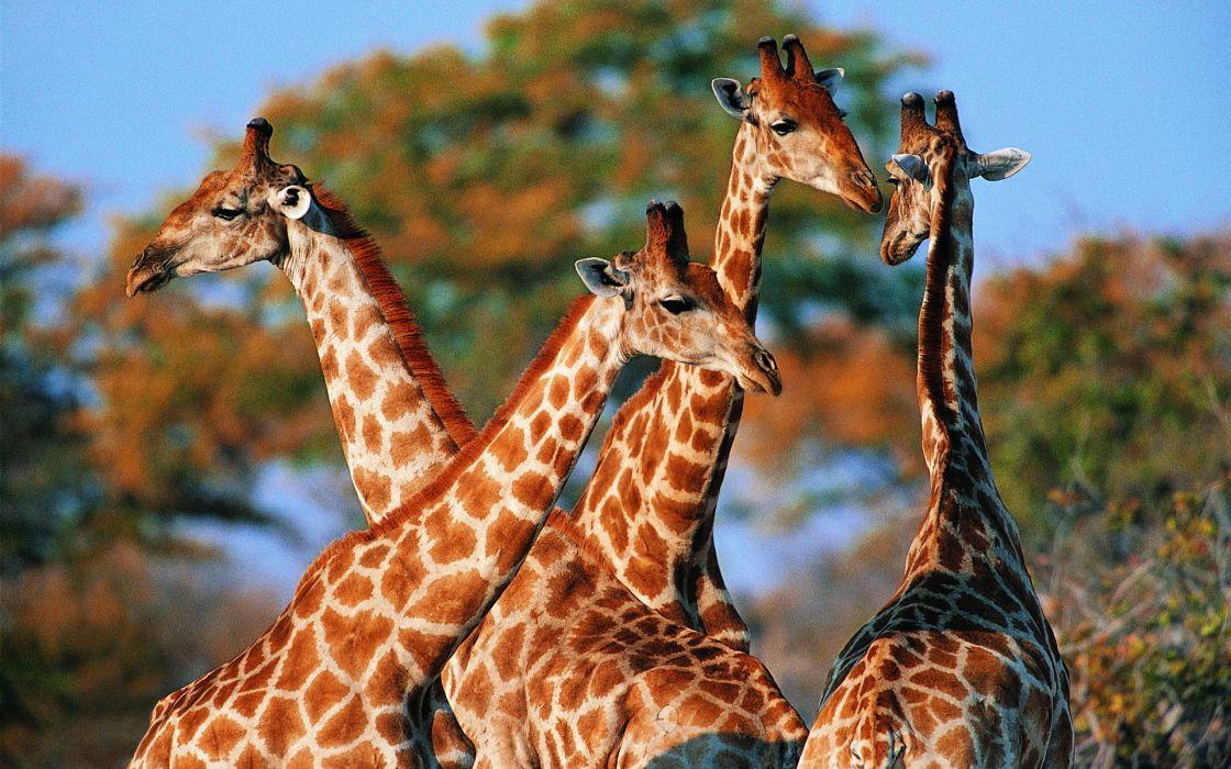 Giraffe (12) wallpaper
