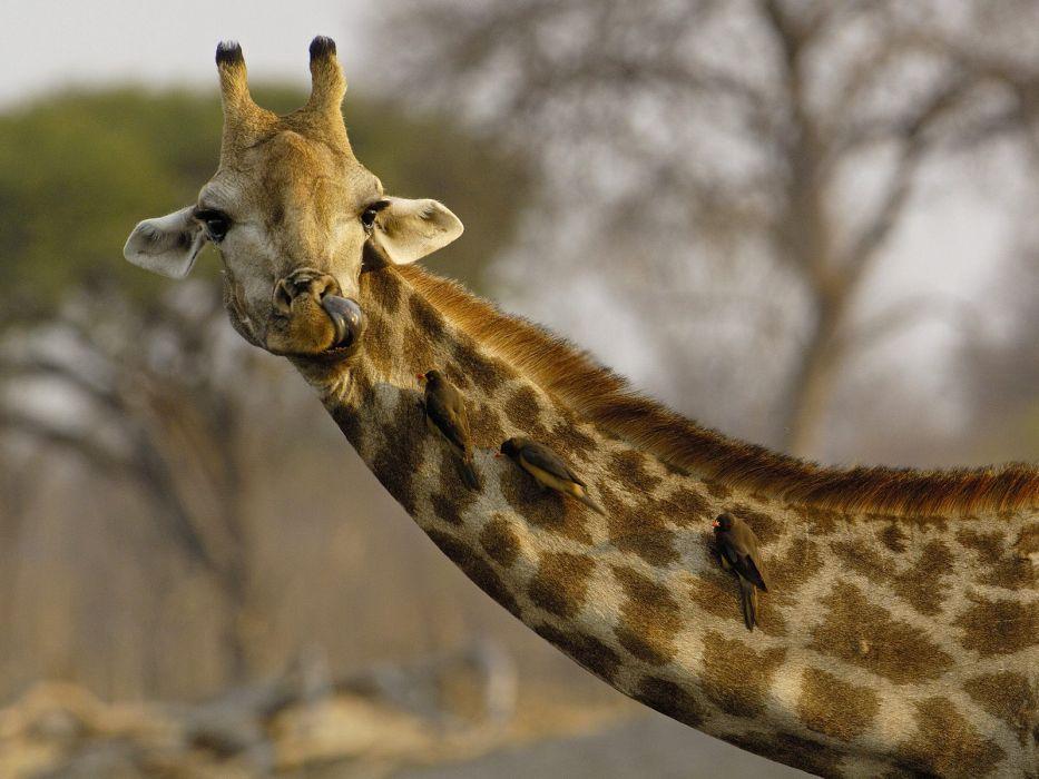Giraffe (15) wallpaper