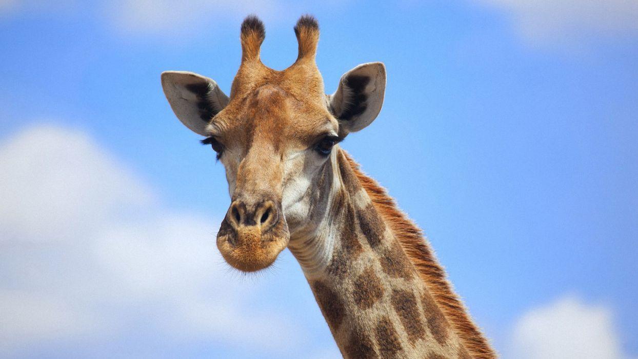 Giraffe (19) wallpaper