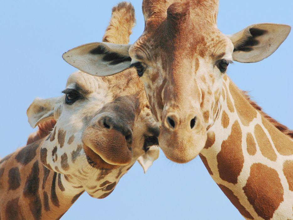 Fondos De Pantalla De Jirafas: Giraffe (20) Wallpaper