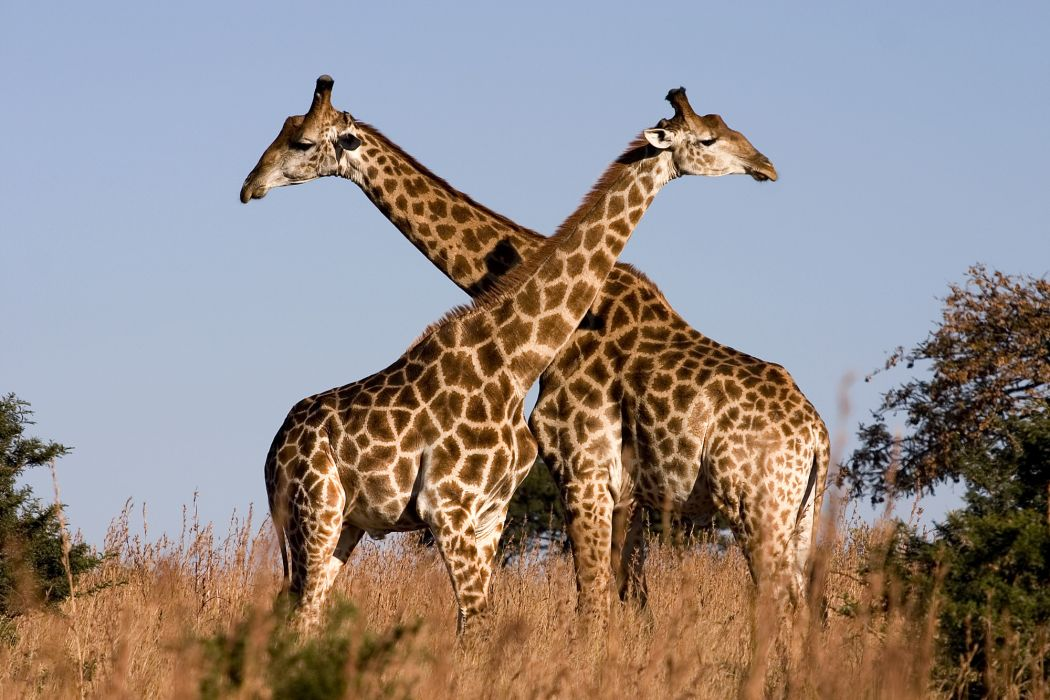 Giraffe (22) wallpaper