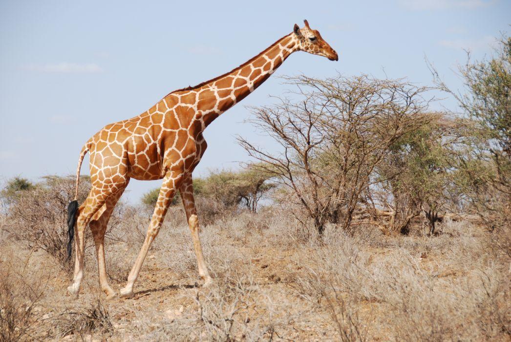 Giraffe (18)_JPG wallpaper