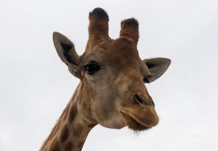 Giraffe (24) wallpaper