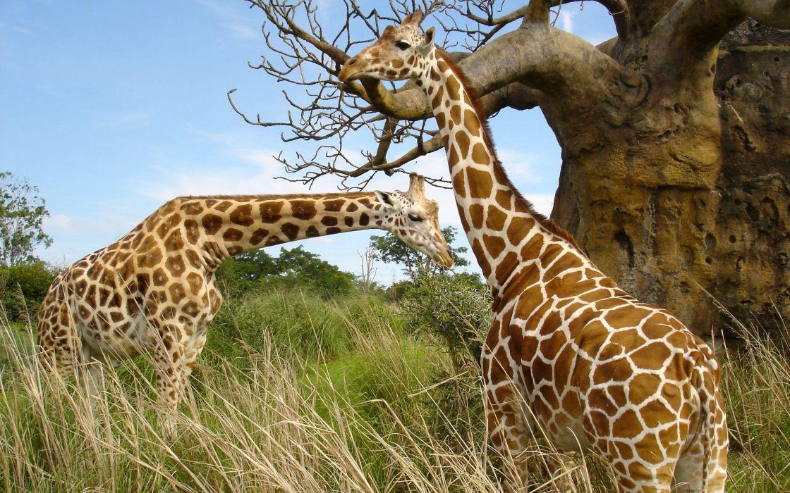 Giraffe (25) wallpaper