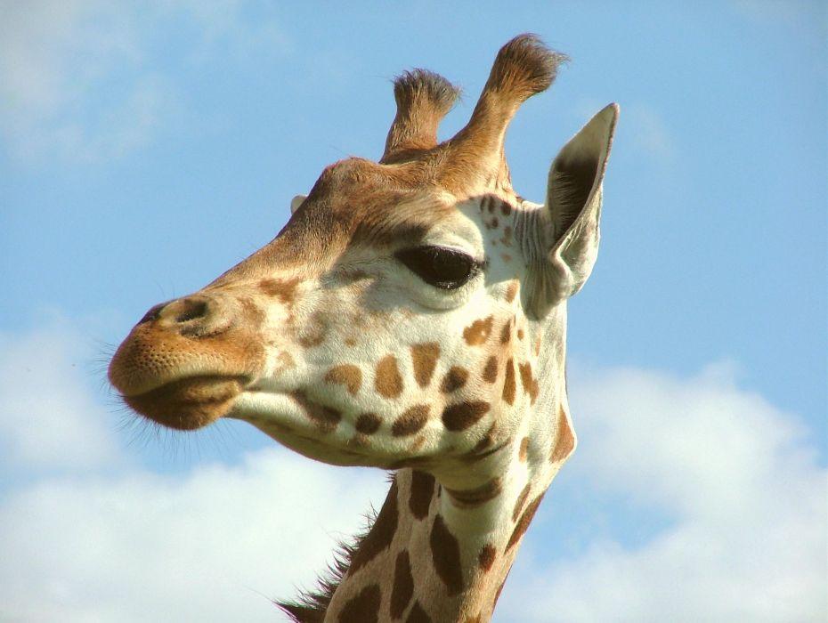 Giraffe (26) wallpaper