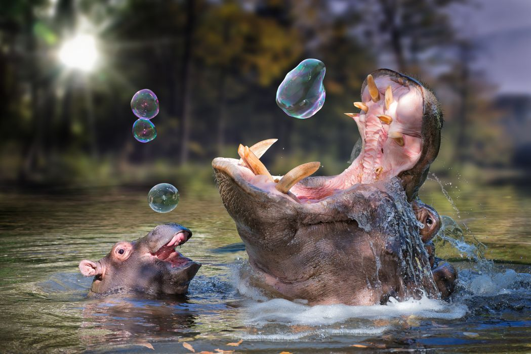 hippo baby bathing soap bubbles wallpaper