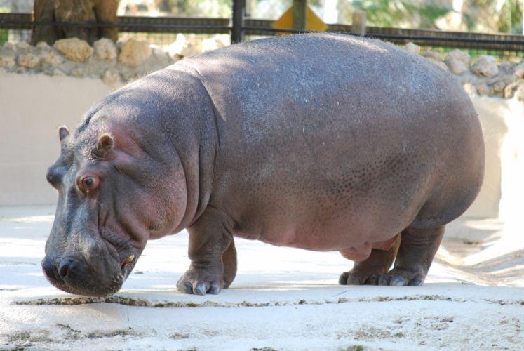 hippopotamus hippo (1) wallpaper