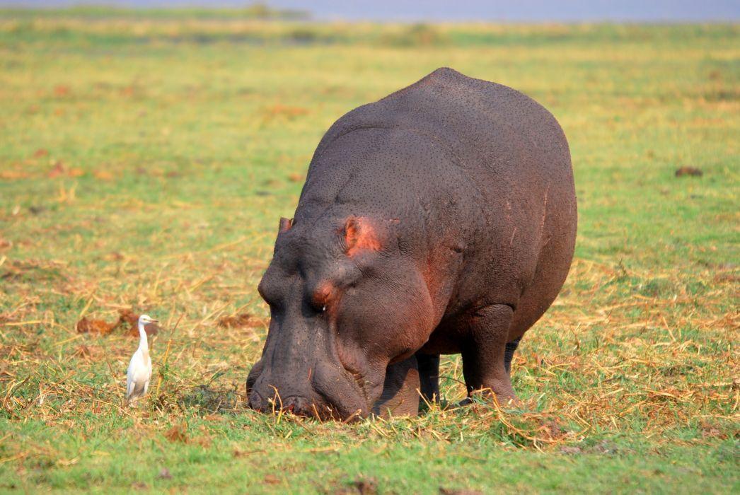 hippopotamus hippo (9) wallpaper