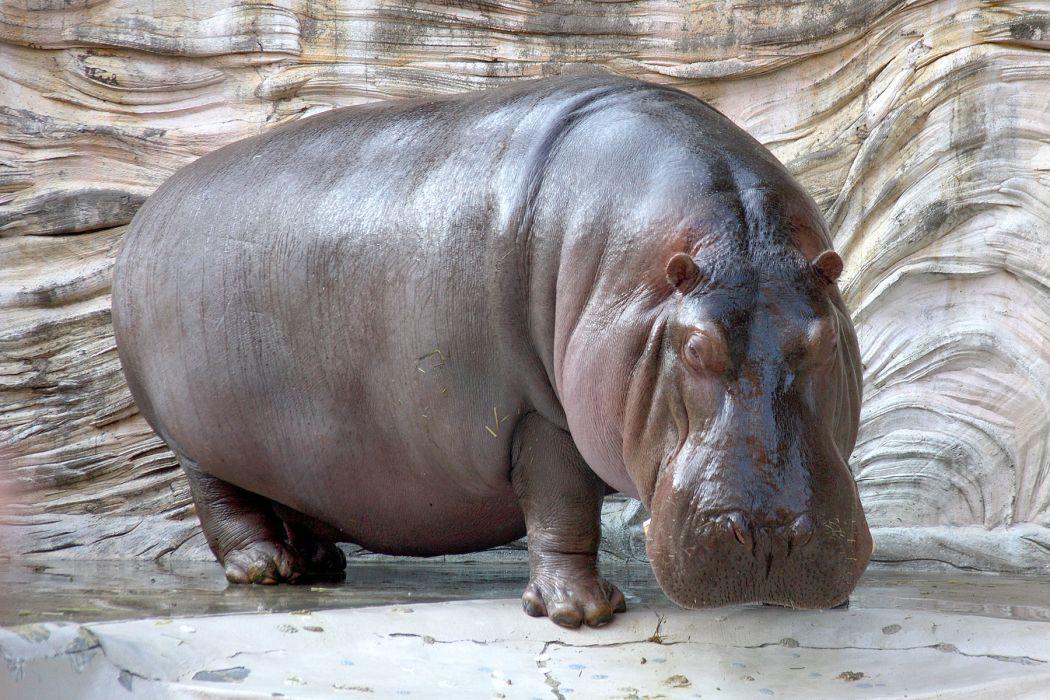 hippopotamus hippo (12) wallpaper