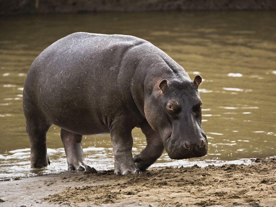hippopotamus hippo (13) wallpaper