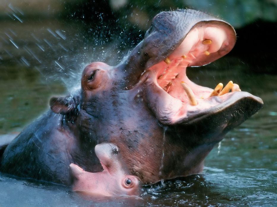 hippopotamus hippo wallpaper