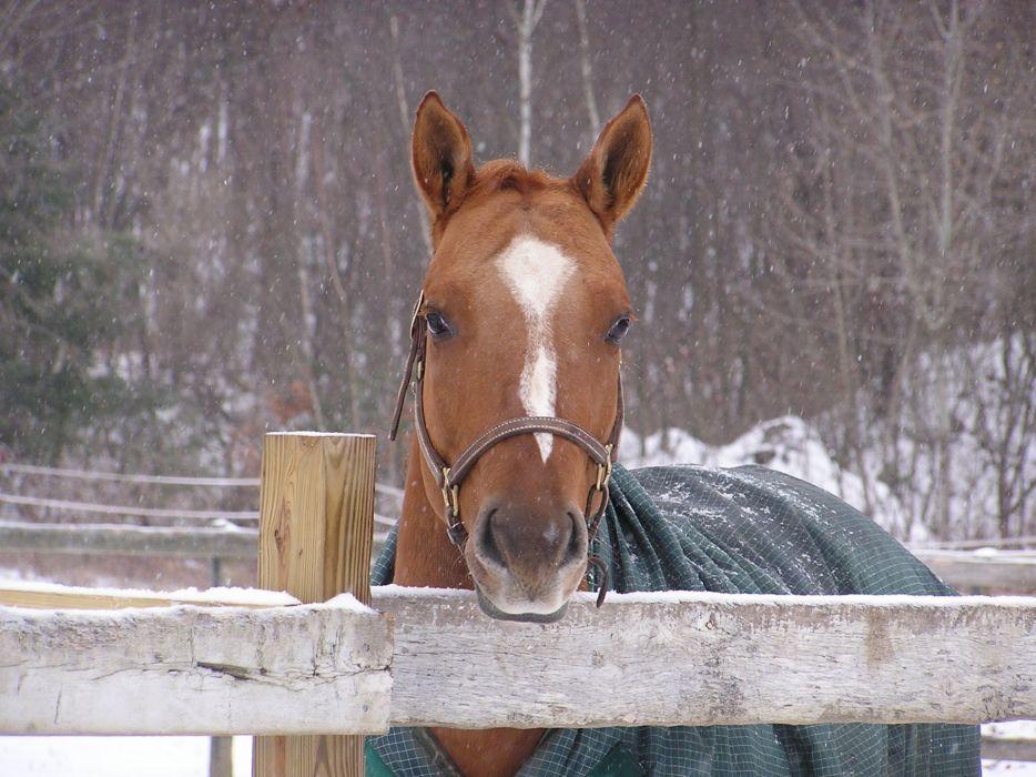 horse cape winter wallpaper