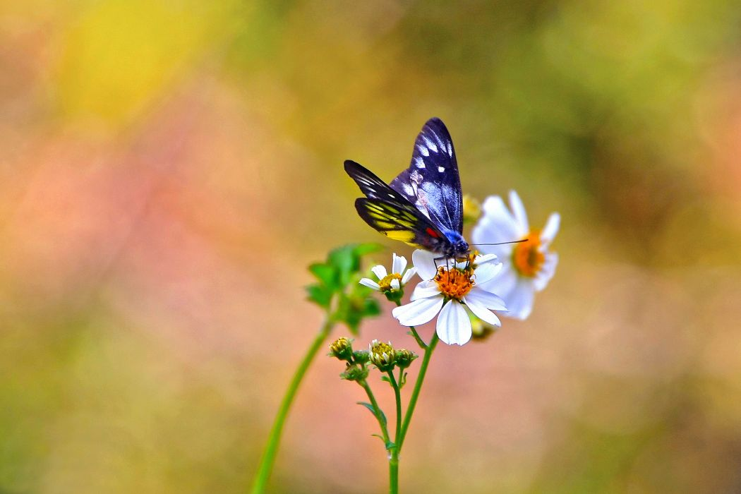 Insects Butterfly wallpaper