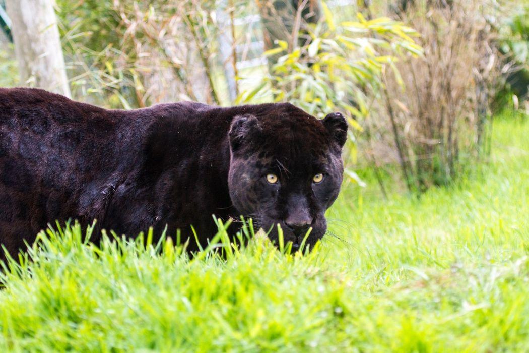 jaguar panther wild cat grass wallpaper
