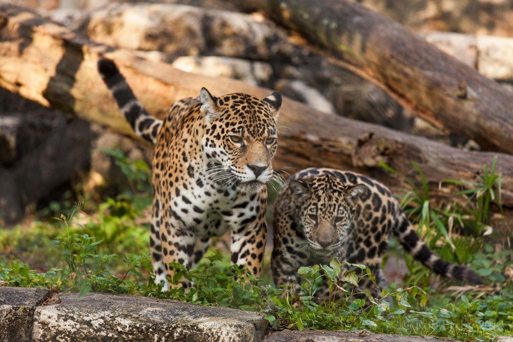 jaguar wild cats couple mom baby family wallpaper