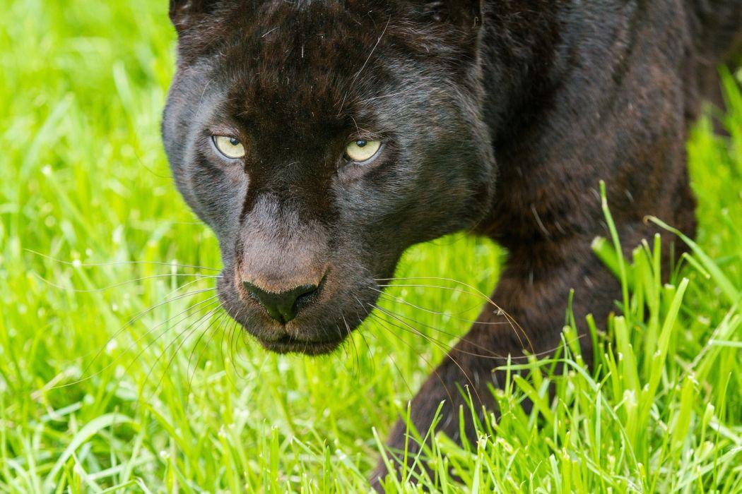 leopard panther wild cat muzzle grass wallpaper
