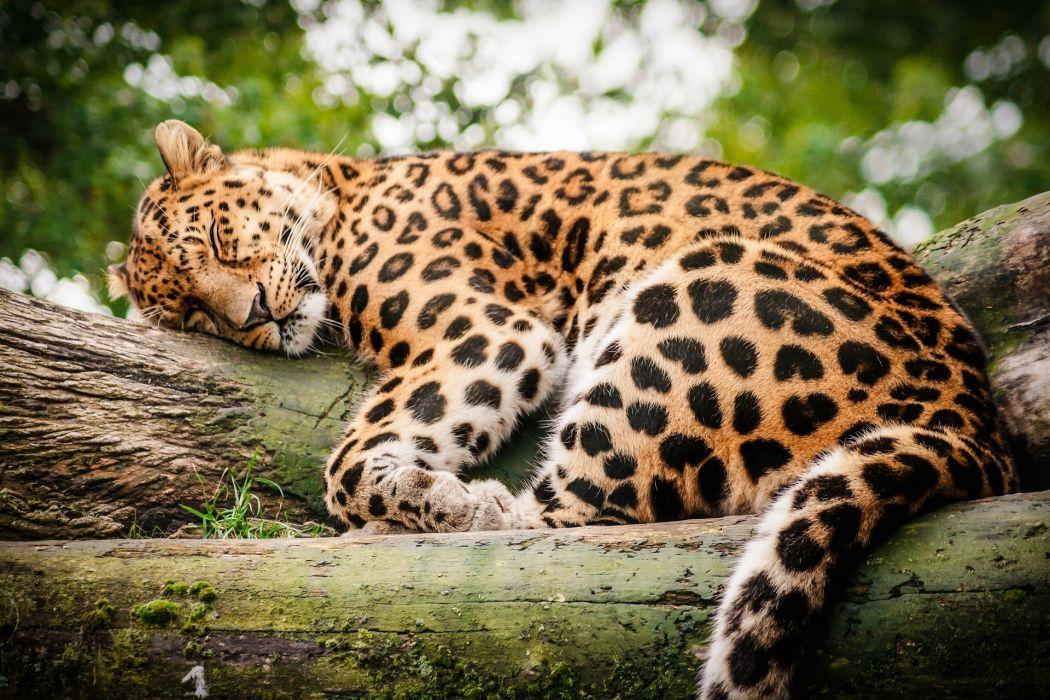 leopard wild cat rest sleep log wallpaper