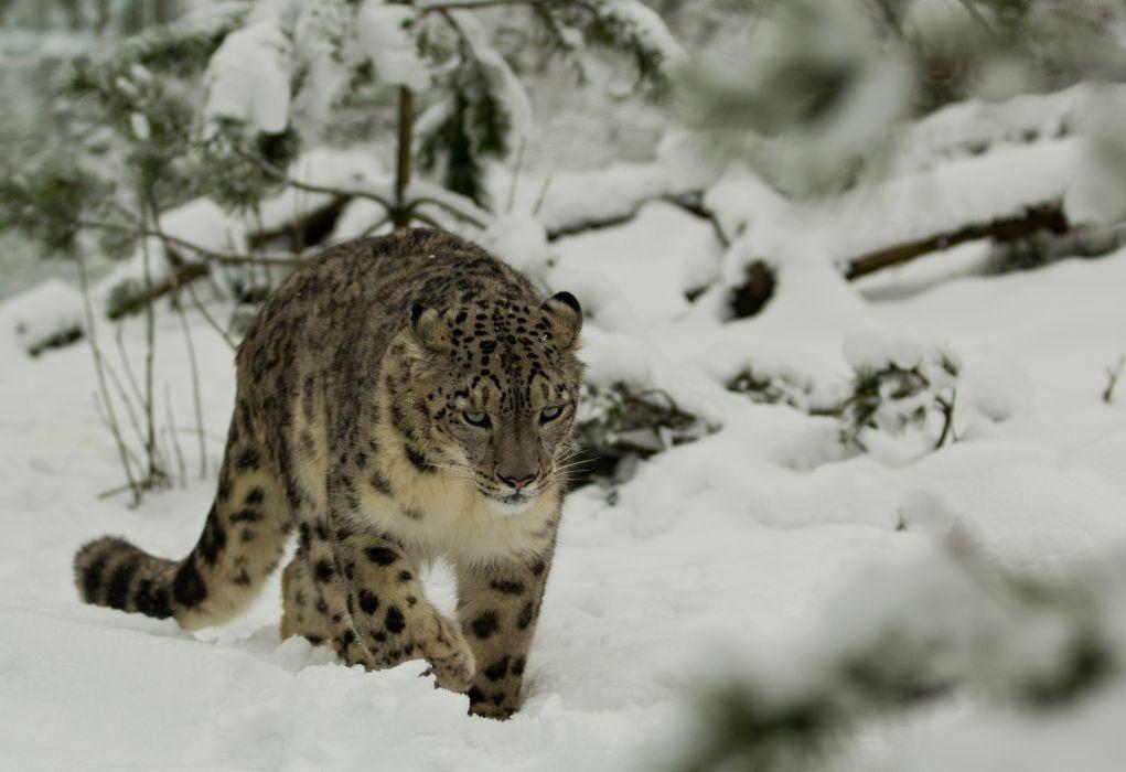 leopard wild cat snow winter wallpaper