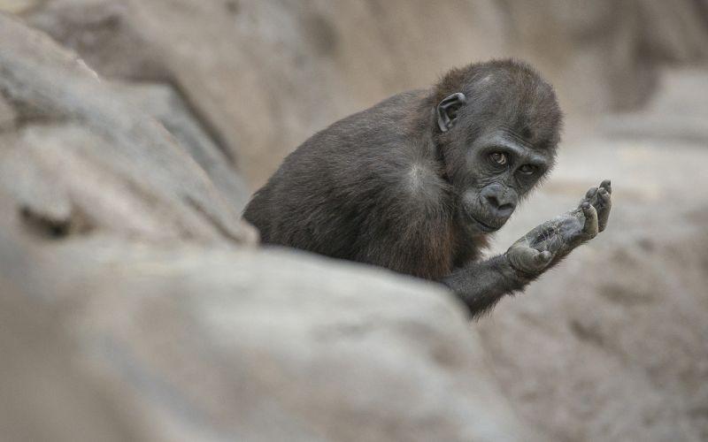 Monkey wallpaper