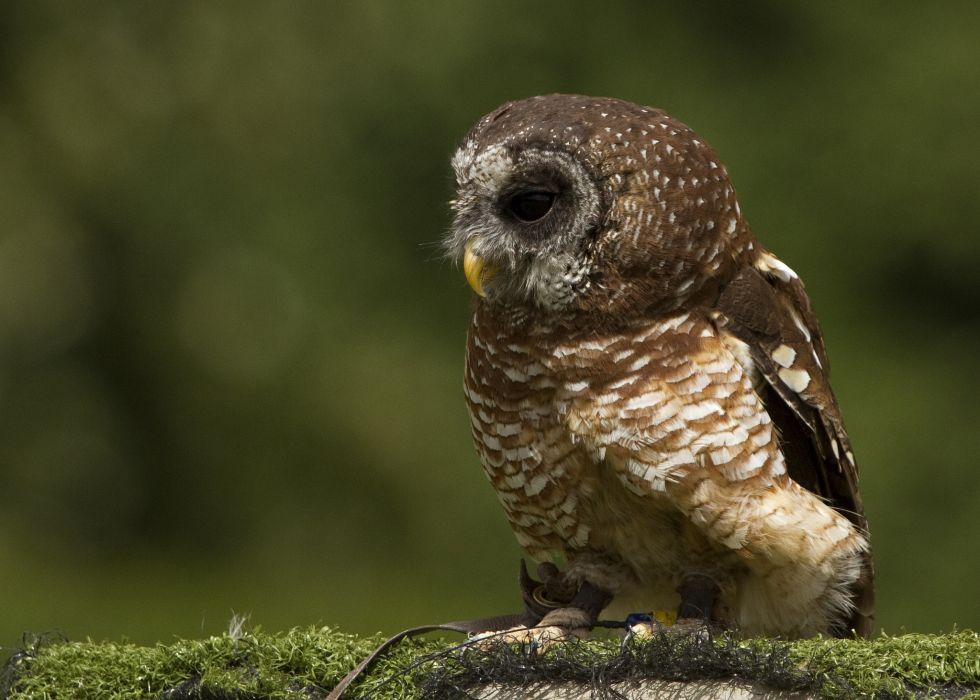 Owl   d wallpaper