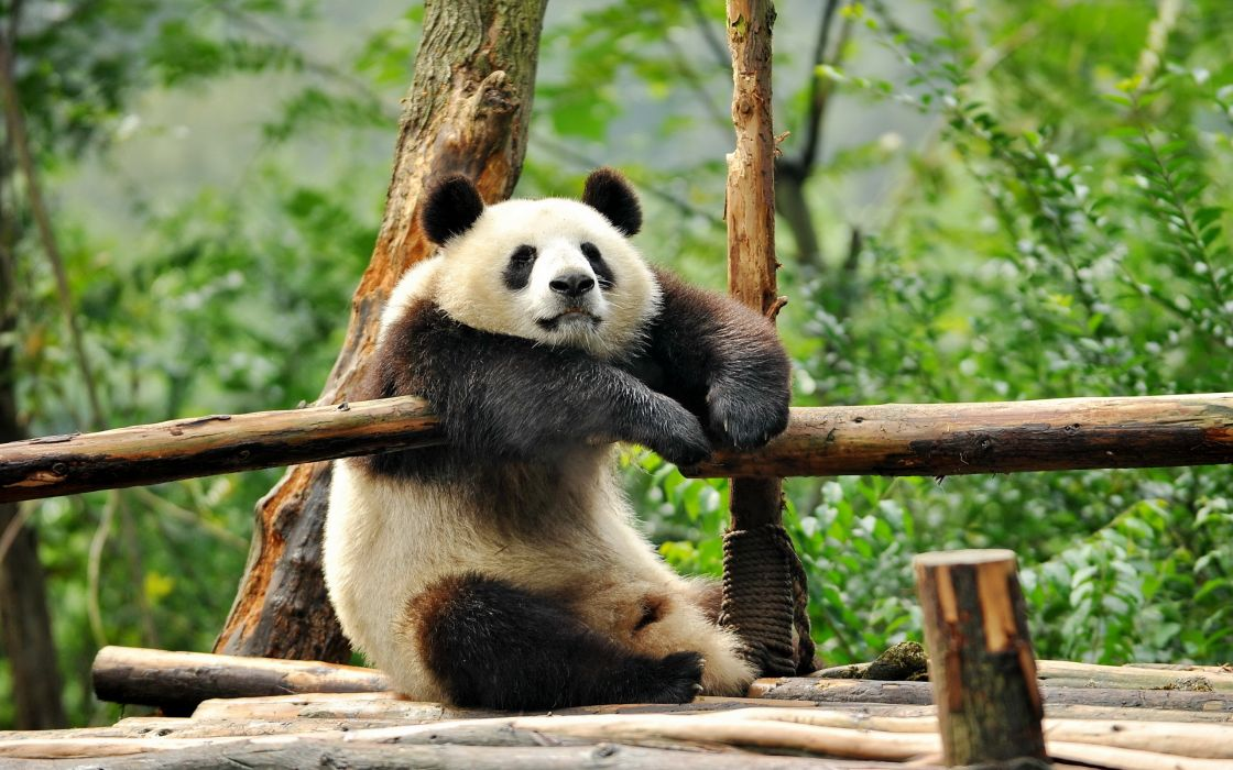 panda leisure wallpaper