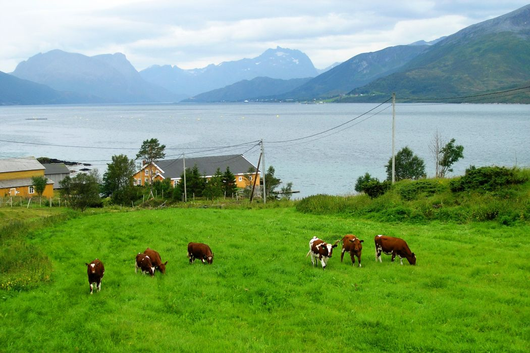 Scenery Mountains Lake Cow Norway Grass Nature Animals wallpaper