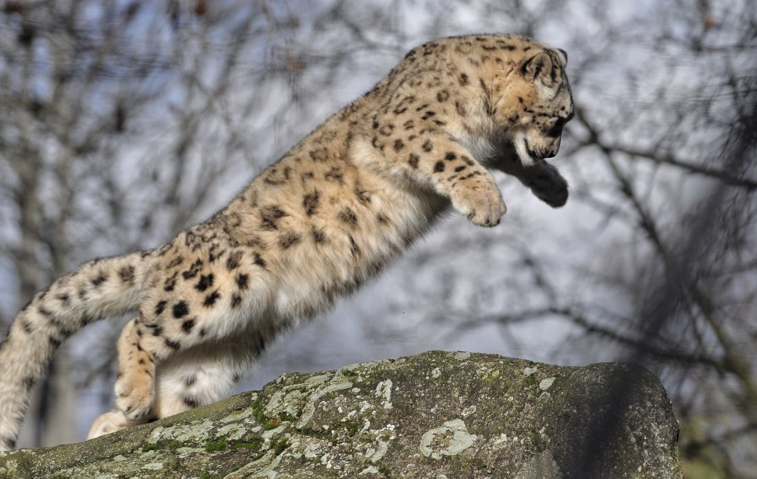 snow leopard wild cat baby jump wallpaper