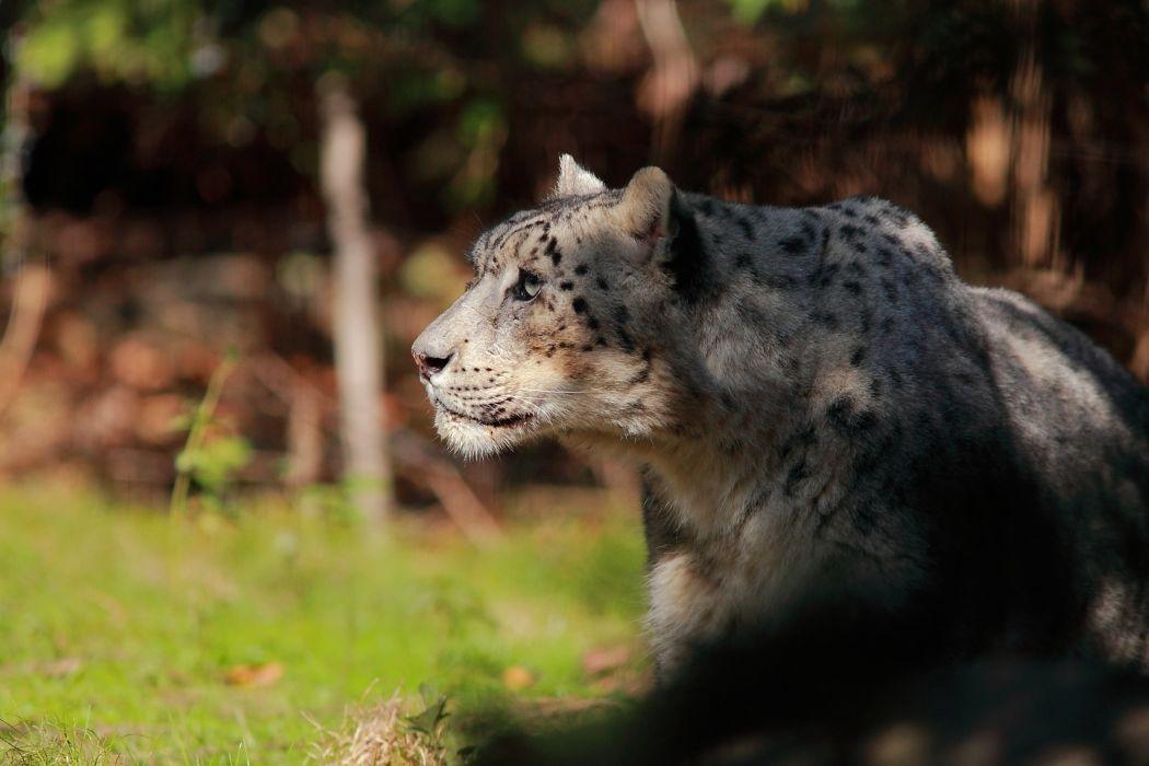 snow leopard wild cat face profile wallpaper