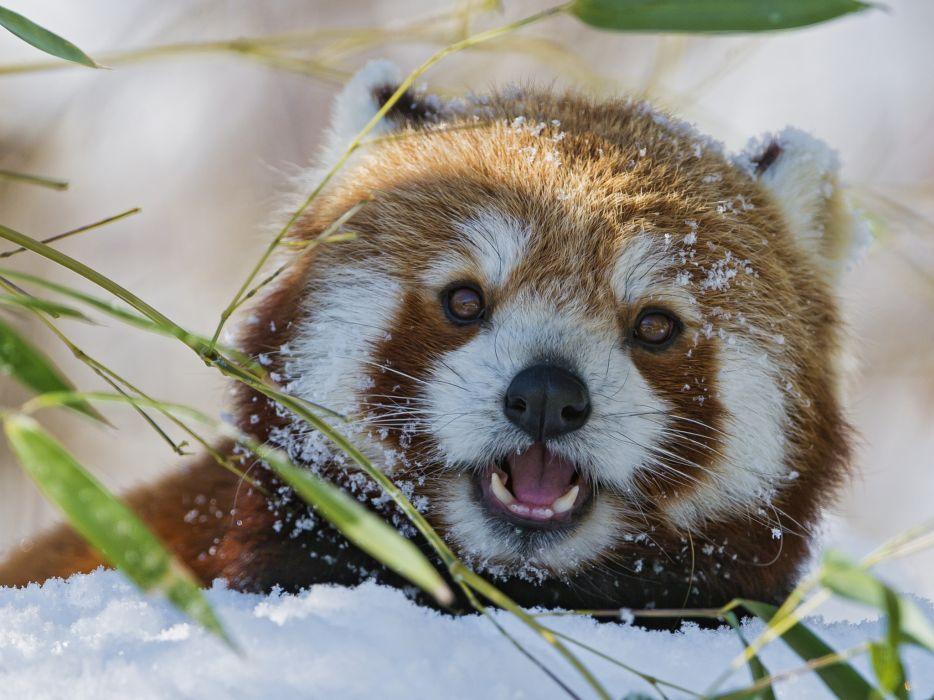 snow bamboo red panda winter wallpaper