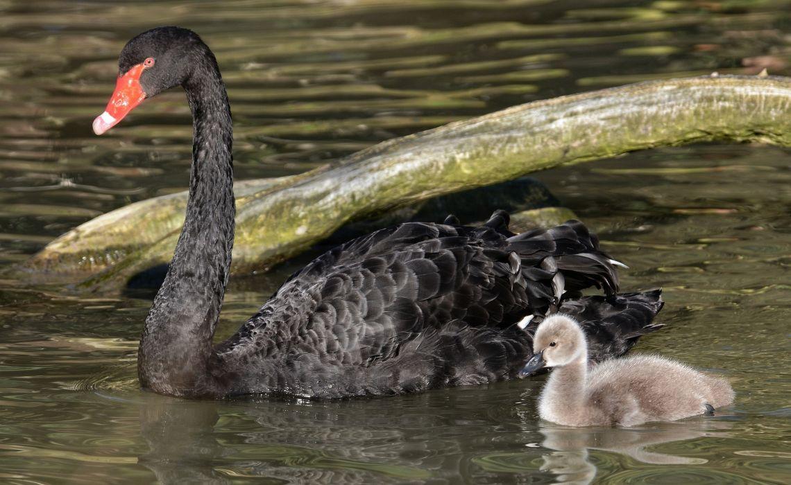 swan lebedenok chick mom baby family water wallpaper