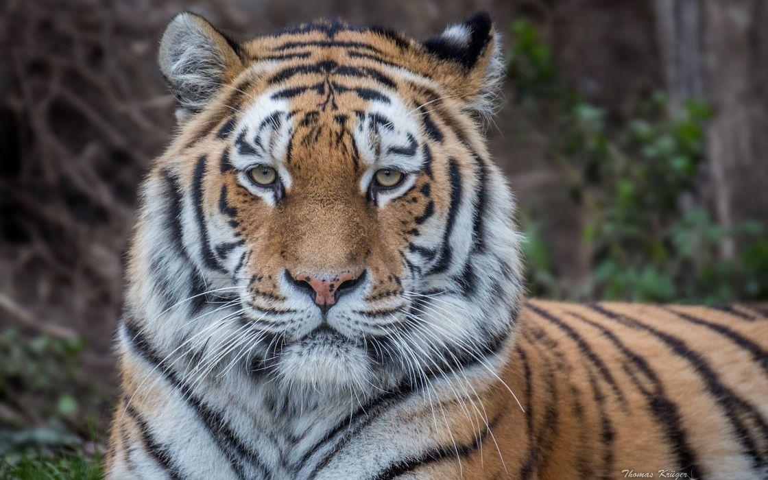 tiger wild cat face eyes wallpaper