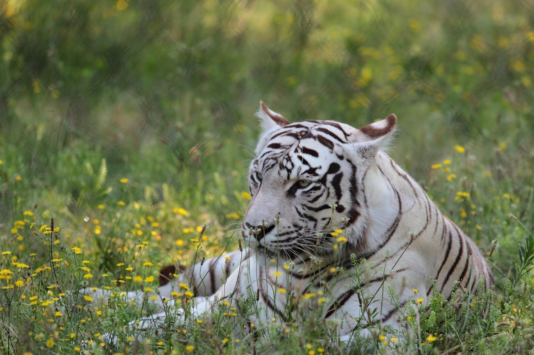 tiger wild cat face holiday flowers wallpaper