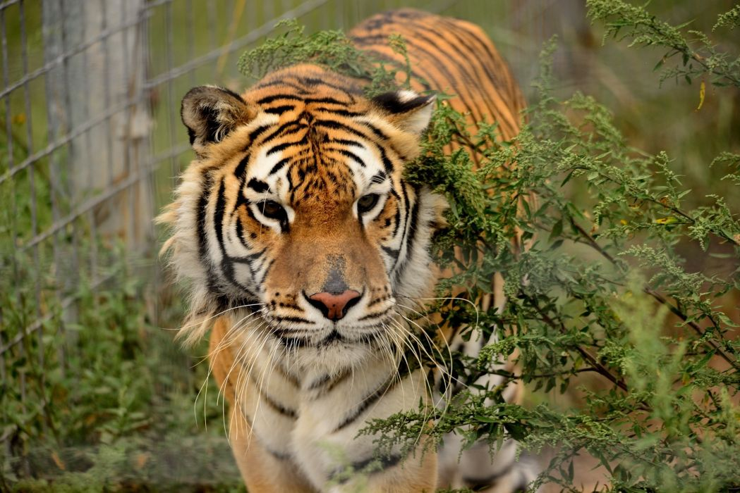 tiger wild cat muzzle   d wallpaper