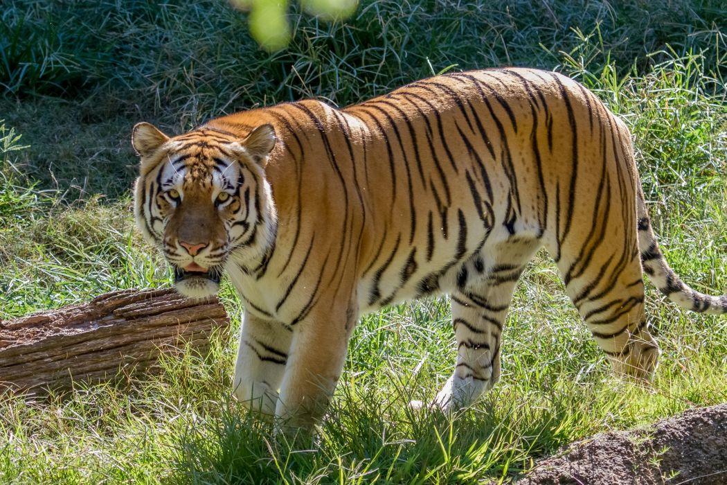 tiger wild cat muzzle   g wallpaper
