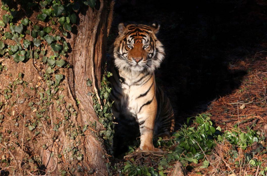 tiger wild cat predator wallpaper