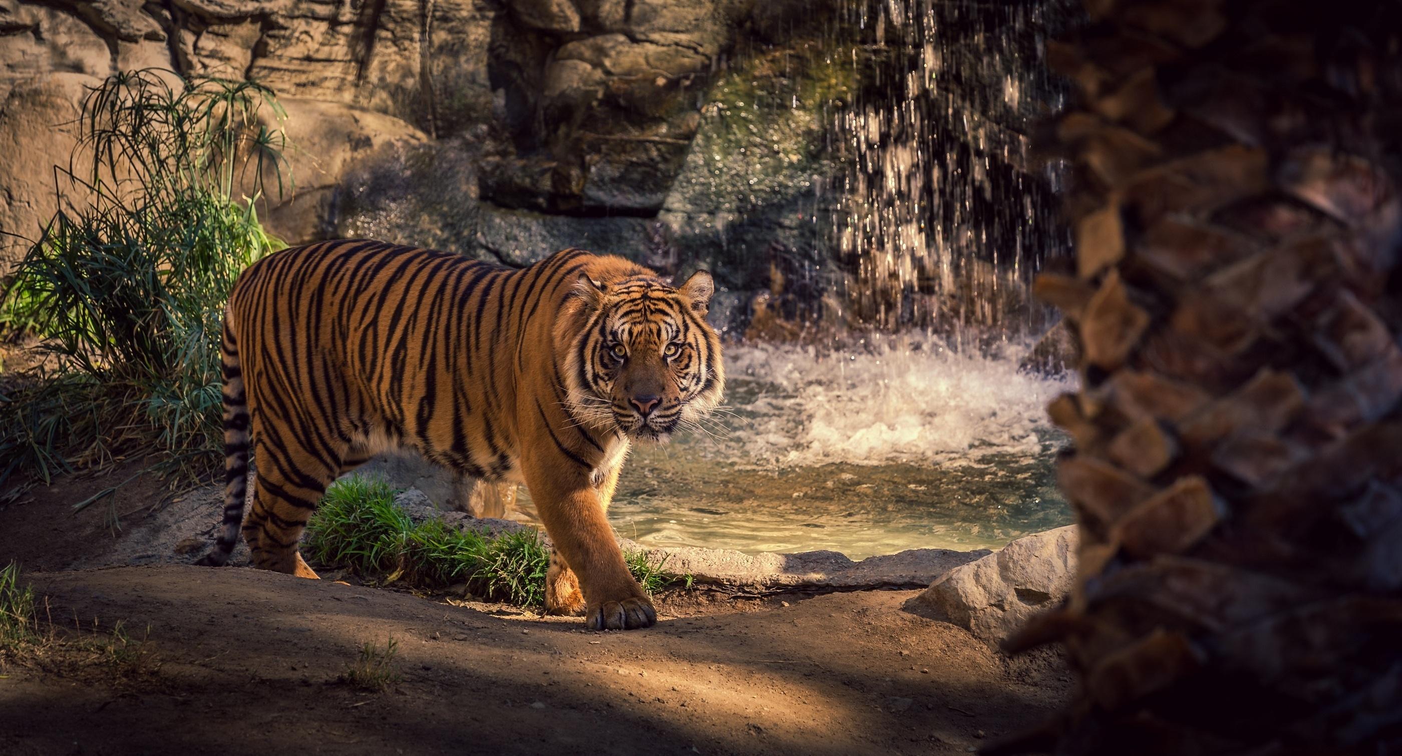 tiger wild cat rocks water waterfall wallpaper | 2800x1510