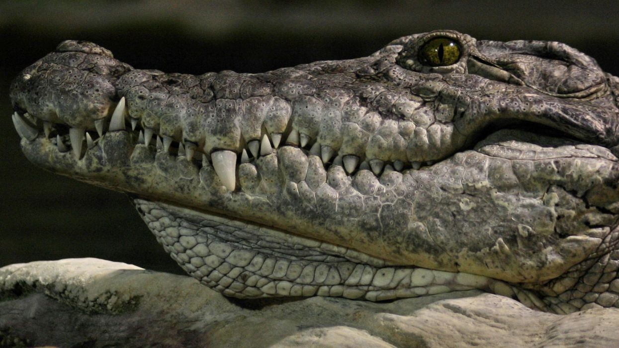 animals crocodiles wallpaper