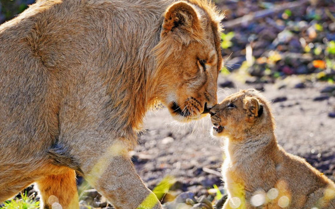animals cubs lions baby animals wallpaper