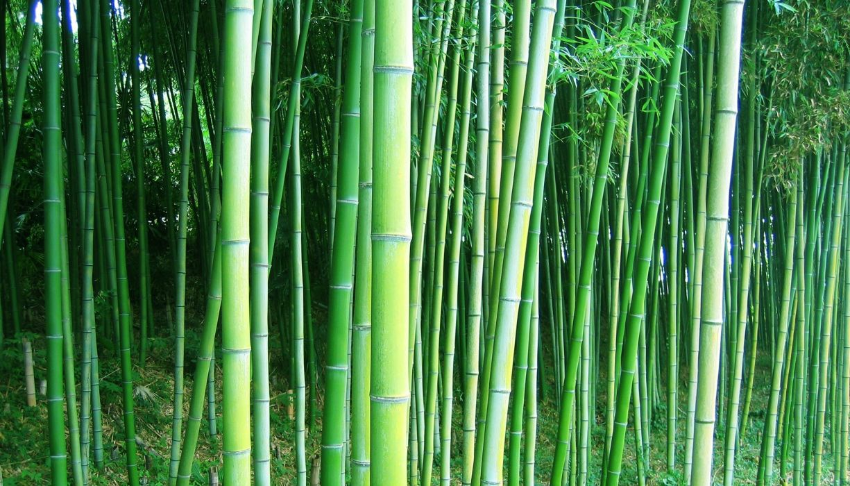 bamboo forest trees wallpaper