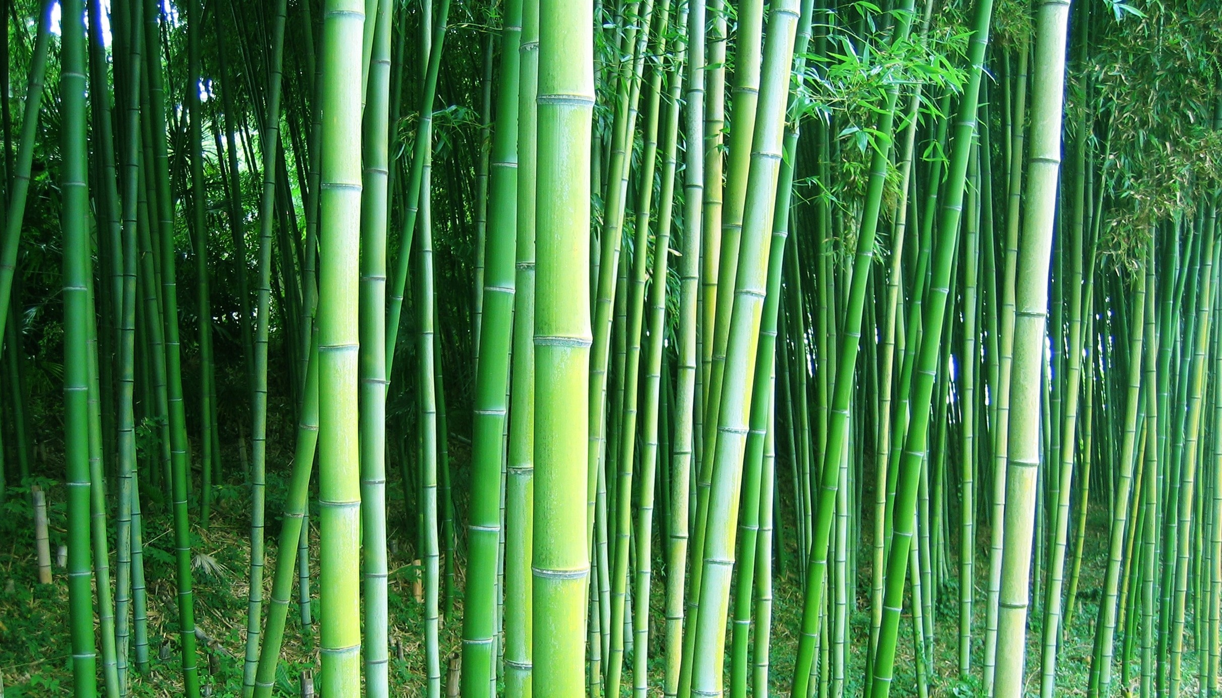bamboo forest trees wallpaper | 2425x1386 | 220355 | wallpaperup