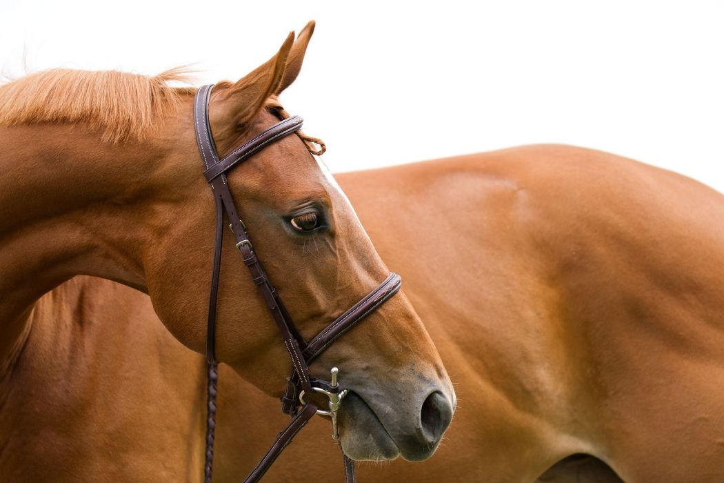 horse head face profile mane bridle wallpaper