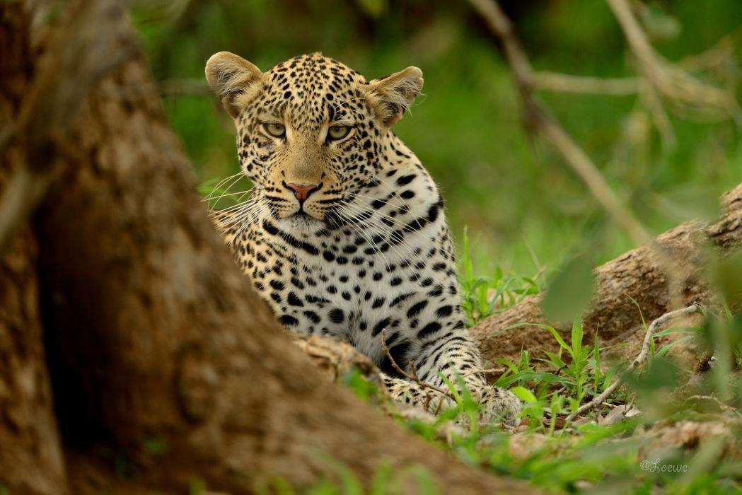leopard wild cat predator muzzle wallpaper