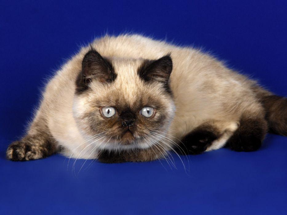 cats animals siamese wallpaper