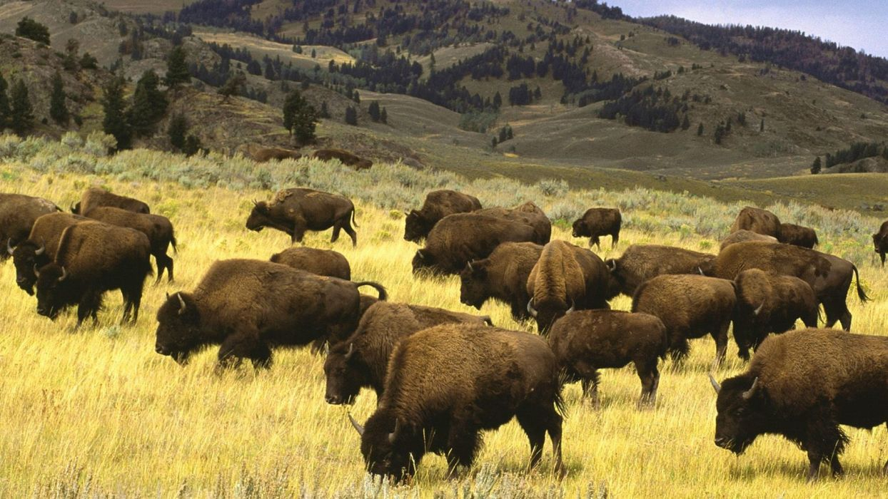 landscapes nature animals wildlife fields Wyoming Yellowstone National Park bison wallpaper