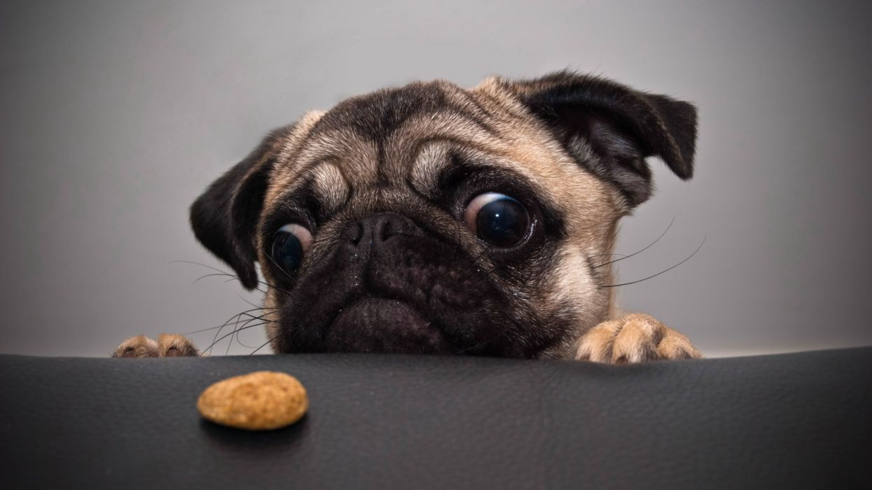 animals dogs cookies tables pug wallpaper
