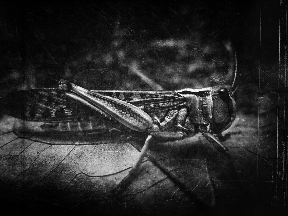insects Cricket wallpaper