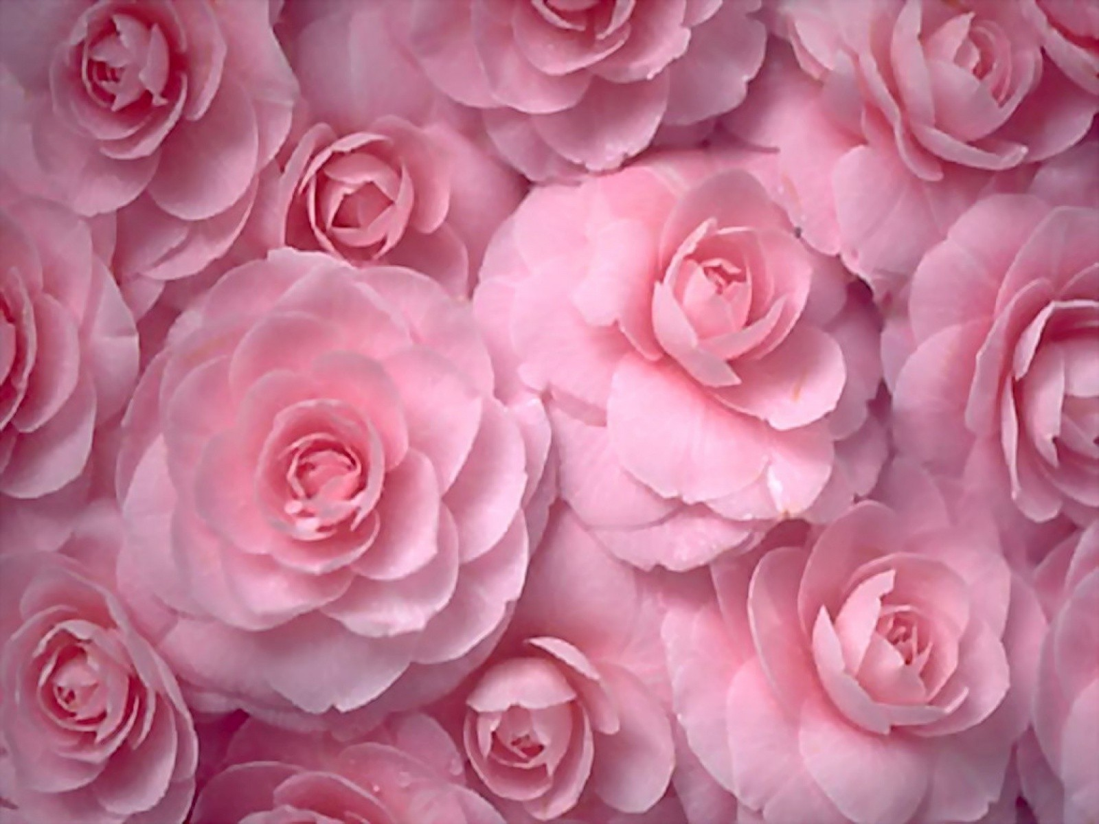 Flowers Roses Pink Flowers Wallpaper 1600x1200 220924 Wallpaperup